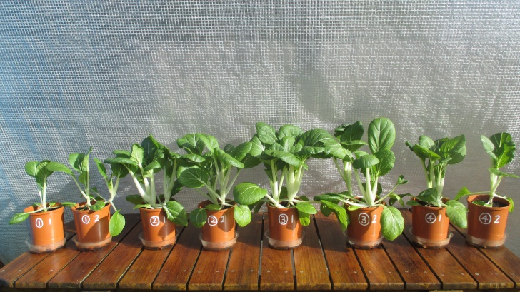 C:\Documents\GC\Dan's plant studies\E. Pak Choi - start approx Feb - April  2014\10. Day ~60 (not AJ) (40ml in bases)\Photograph 18. Eight pots on Day ~60.JPG