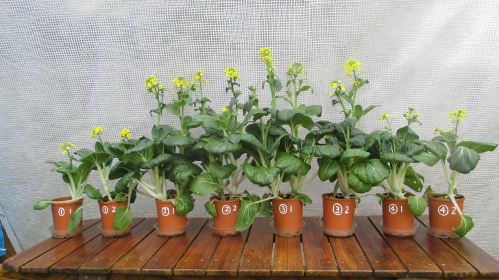 C:\Documents\GC\Dan's plant studies\E. Pak Choi - start approx Feb - April  2014\12. Day ~90 (not AJ) (no water in bases)\Photograph 21. Eight pots on Day ~90.JPG