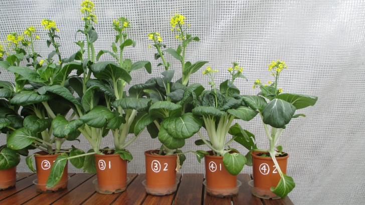 C:\Documents\GC\Dan's plant studies\E. Pak Choi - start approx Feb - April  2014\12. Day ~90 (not AJ) (no water in bases)\Photograph 23. Close up view of pots ③ 1, ③ 2, ④ 1 and ④ 2 on Day ~90.JPG